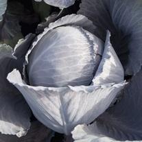 Cabbage Lodero F1 Veg Plants