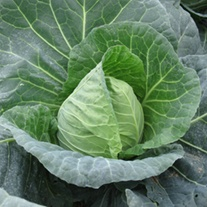Cabbage Duncan F1 AGM Veg Plants