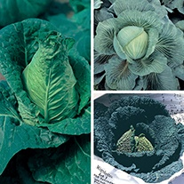 Cabbage Veg Plant Collection