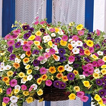 Calibrachoa Kabloom™Mixed F1 Flower Plants