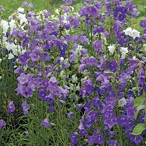 Campanula perscifolia Blue Potted Flower Plant