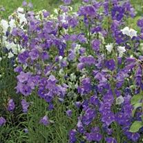 Campanula perscifolia Blue Potted Flower Plant