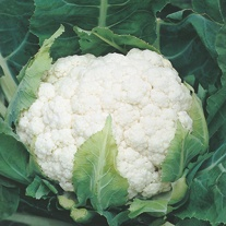 Cauliflower Aalsmeer Plants