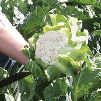Cauliflower Mystique F1 Plants