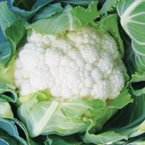 Cauliflower Amsterdam F1 Plants