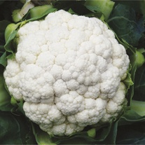 Cauliflower Seoul F1 Veg Plants