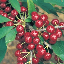Cherry Summer Sun AGM Fruit Tree