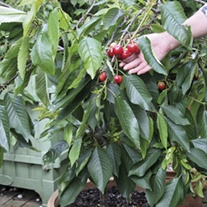 Patio Cherry Hartland Fruit Tree