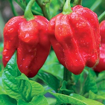 Chilli Pepper Naga Morich plants