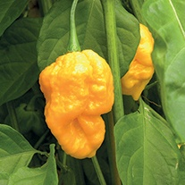 Chilli Pepper Trinidad moruga Scorpion Yellow plants