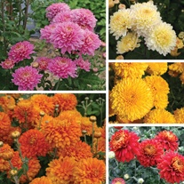 Chrysanthemum Pennine Outdoor Spray Collection