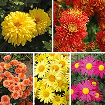 Chrysanthemum Garden Hardy Flower Collection