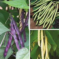 Climbing French Bean Seed Collection