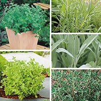 Perennial Herb Seed Collection
