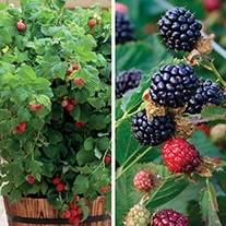 Patio Fruit Plant Collection