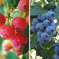 Blueberry Fruit Plant Collection