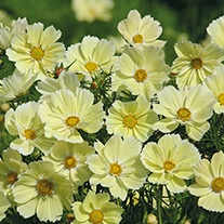 Cosmos Xanthos Flower Seeds