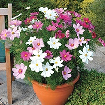 Cosmos Sonata mixed plug plants