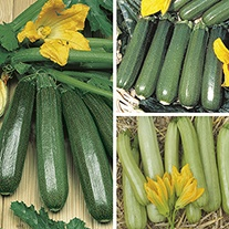Courgette Vegetable Plant Collection