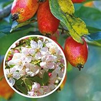 Crab Apple John Downie 1yr old maiden tree