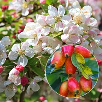 Crab Apple John Downie Fruit Tree