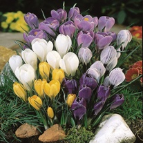 Crocus Species Flower Bulb Mix