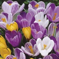 Crocus Large Flowered Bulbs