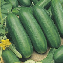 Cucumber Socrates F1 AGM Grafted Veg Plants
