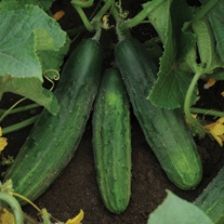 Cucumber Patio Snacker F1 Veg Plants