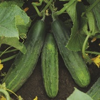 Cucumber Patio Snacker F1 Plants