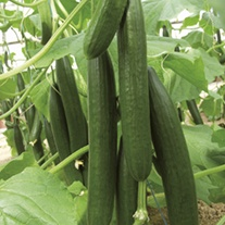 Cucumber Bella F1 Grafted Plants