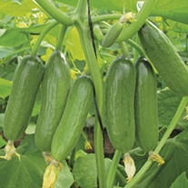 Cucumber Baby Rocky F1 Grafted Plants
