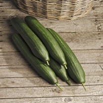 Cucumber (Grafted) Derby plants