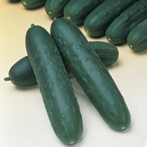 Cucumber (Grafted) Jazzer plants