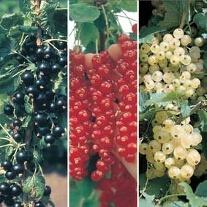 Currant Fruit Plant Collection