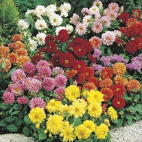 Dahlia Figaro Mixed Flower Plants