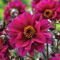 Dahlia Bishop Of Canterbury Potted Plant