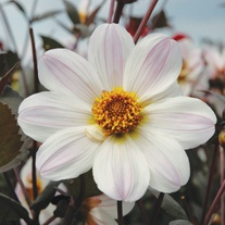 Dahlia Bishop of Dover Potted Plant