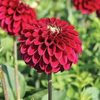 Dahlia Maroon Fox Potted Plant