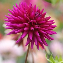 Dahlia Ambition Flower Bulbs