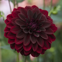 Dahlia Arabian Night Potted Plant