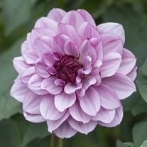 Dahlia Crème de Cassis Flower Tubers