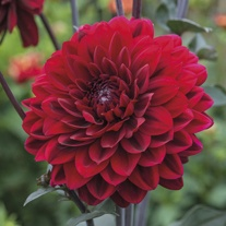 Dahlia Karma Chocolate Potted Plant