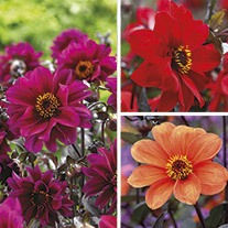 Dahlia Bishop Flower Bulb Collection