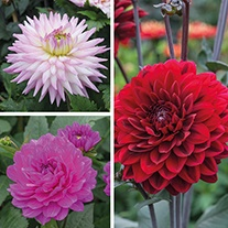Dahlia Karma Flower Bulb Collection