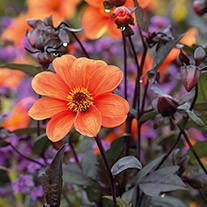 Dahlia Bishop Of Oxford 3lt Potted Plant