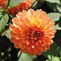 Dahlia Four Queens 3lt Potted Plant