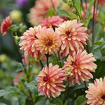 Dahlia Crazy Legs 3lt Potted Plant