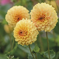 Dahlia Graceland 3lt Potted Plant