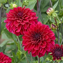 Dahlia Strongfire Flower Tubers